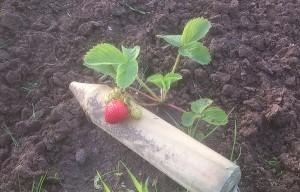 Bild: Erdbeeren