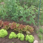 Bild: Salate & Erbsen